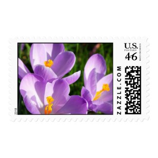 Violet crocus - Postage zazzle_stamp