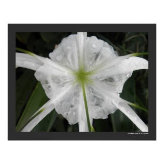 White Beach Spider Lily Flower Floral Print Poster