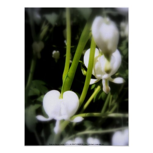 white bleeding heart macro, focal black and white print
