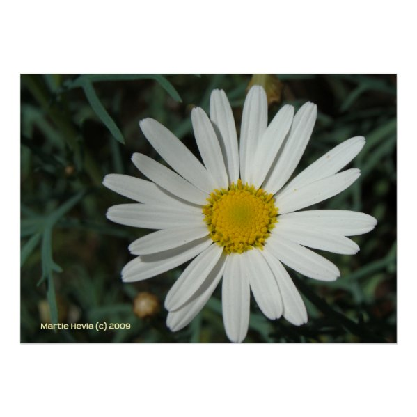 White Daisy Print