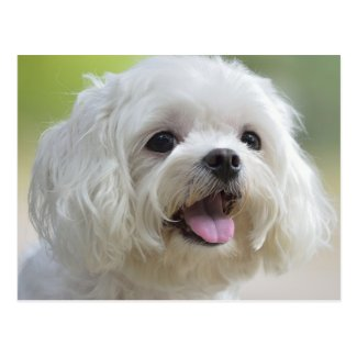 White maltese dog sticking out tongue postcard