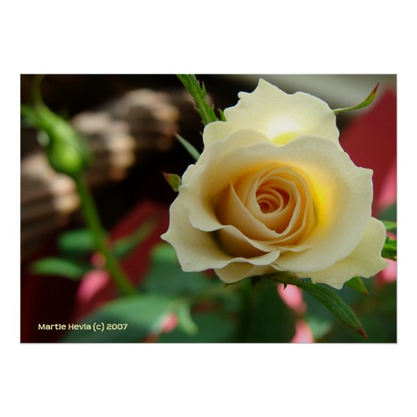 White Rose Bud Print