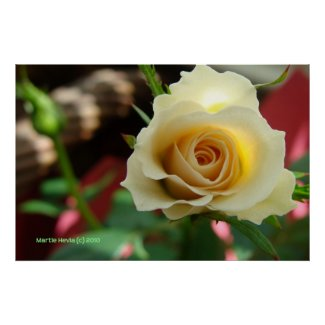 White Rose Bud Print/Poster - Select Your Frame print