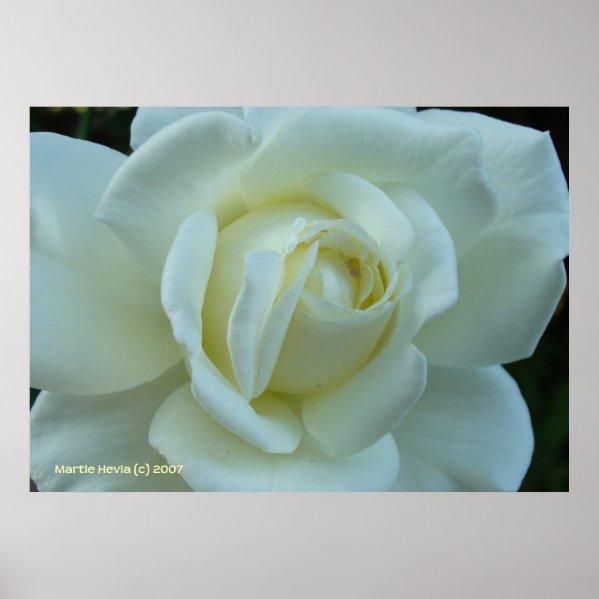White Rose Bug Poster