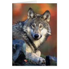 Wolf Photograph Card