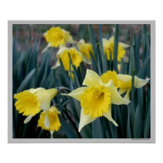 Yellow Flowers Daffodils Daffodil Flower Photo Print