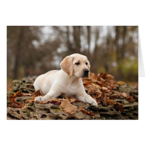 Yellow Labrador Puppy In Autumn