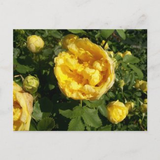 Yellow Roses Postcard postcard