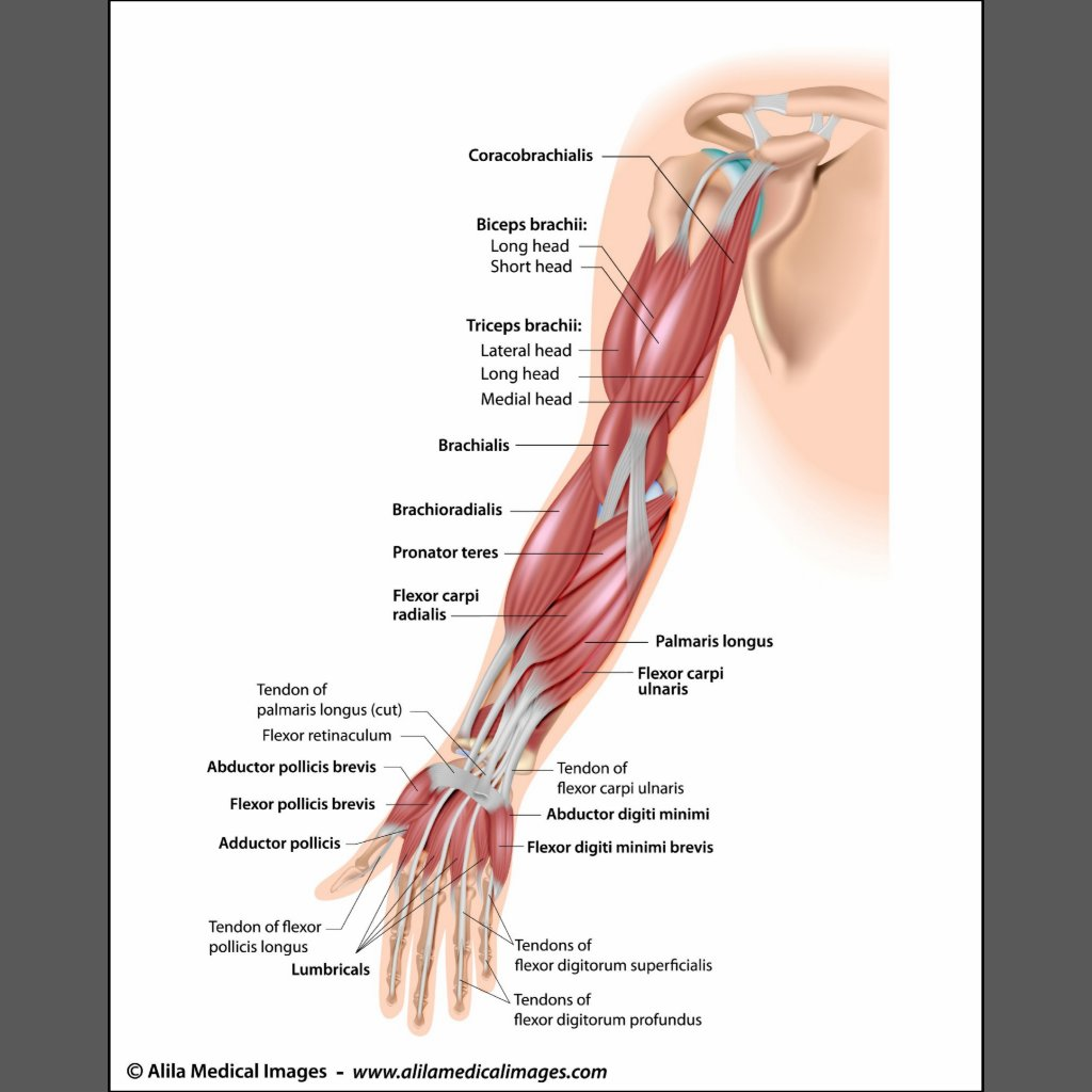 Pronation And Supination Of The Hand