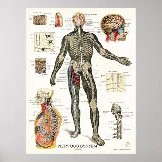 nervensystem anatomie plakat 18 x 24 poster