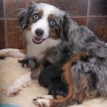 Tiny Toy Aussie Pups For Sale Rl Valley Ranch Aussies