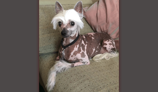 Chinese Crested Christie