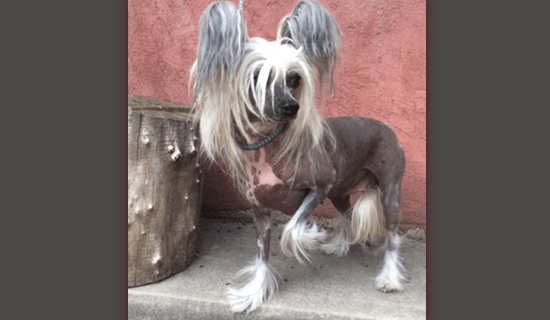 Chinese Crested Gypsy