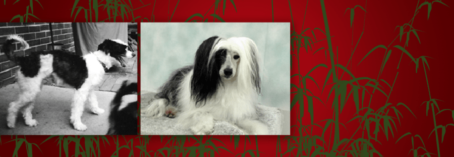 Chinese Crested Rescue