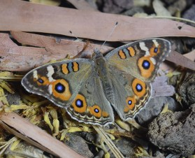 Junonia villida - photo: John Kirk