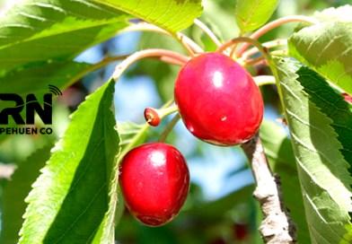 Cosecha de cerezas en el Monte Frutal del Bosque Encantado