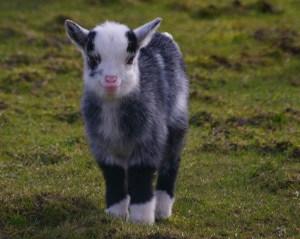 Baby-Goat-Smiling