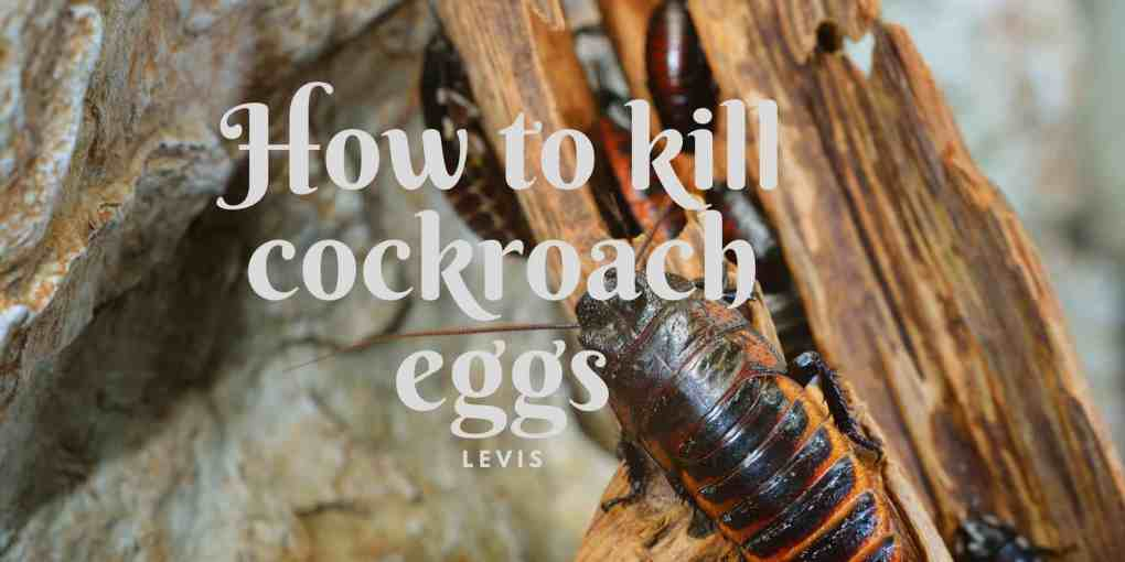 How to killcockroach eggs