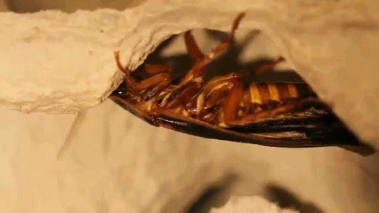 eliminate roaches
