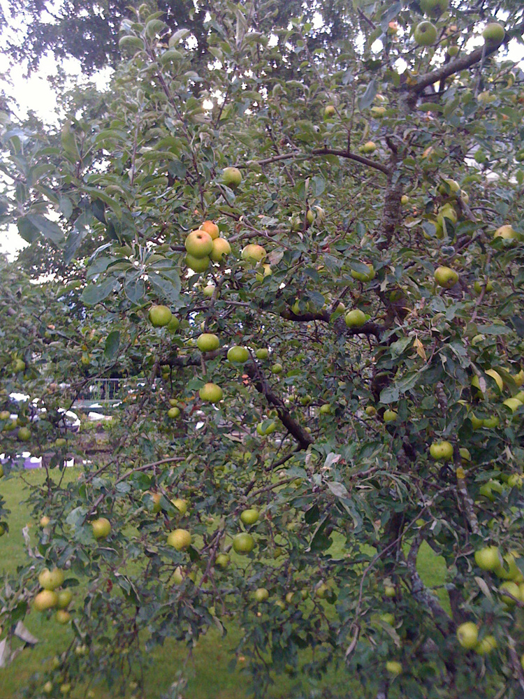 Äpfel - apples