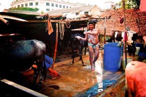 bathing with cows