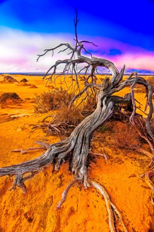 A decaying tree in the Australian Outback