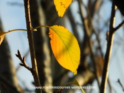 last few leaves catching the light, 11/9/13