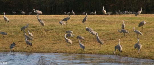 Sand Hill Cranes's at Wildlife refuge