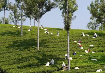Coonoor Teeplantage