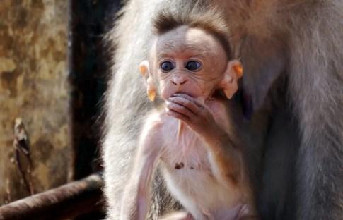 Affe in Indien