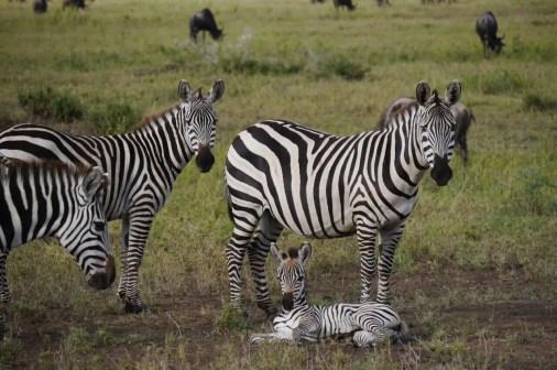 Tansania, Selbstfahrer Safari