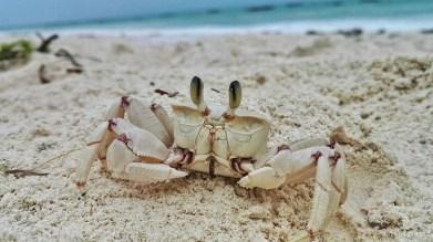 Sansibar Krabbe