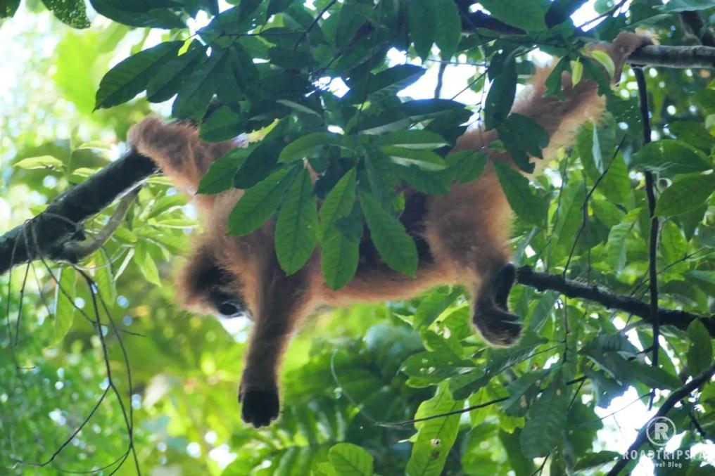 orang uan sumatra trekking