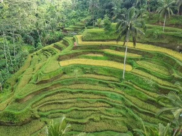 Bali Rice Terrace- KLEIN