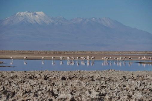 Laguna Chaxa, Flamingos