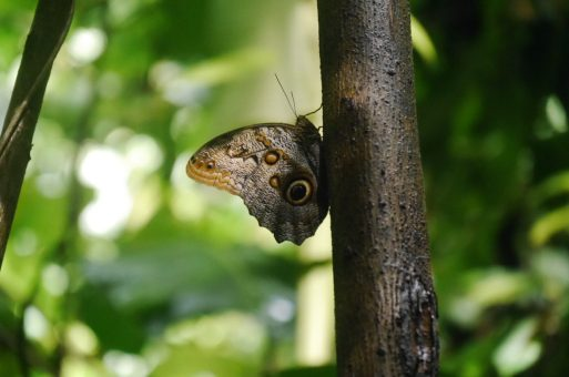 Schmetterling Corcovado