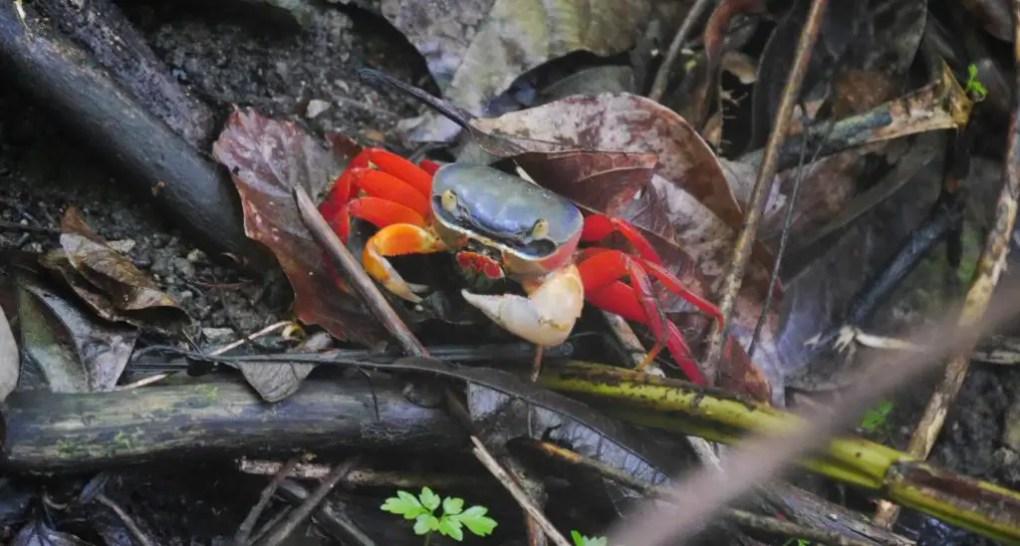 Krabben im Manuel Antonio Park