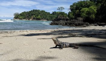 Iguana am Strand - Manuel Antonio Nationalpark