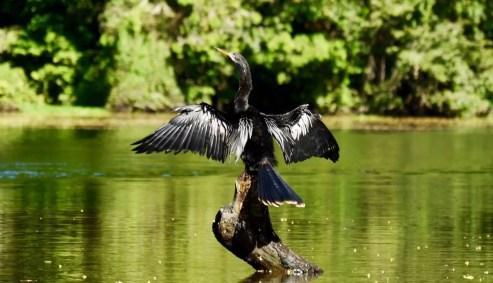 Vogel trocknet seine Federn in Tortuguero
