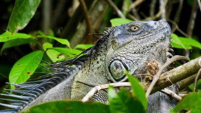 Iguana in Tortuguero