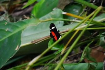 Schmetterling Minca, Kolumbien