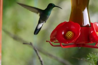 Kolibri Minca, Kolumbien
