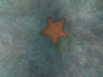 Seestern auf Providencia, Schnorcheln