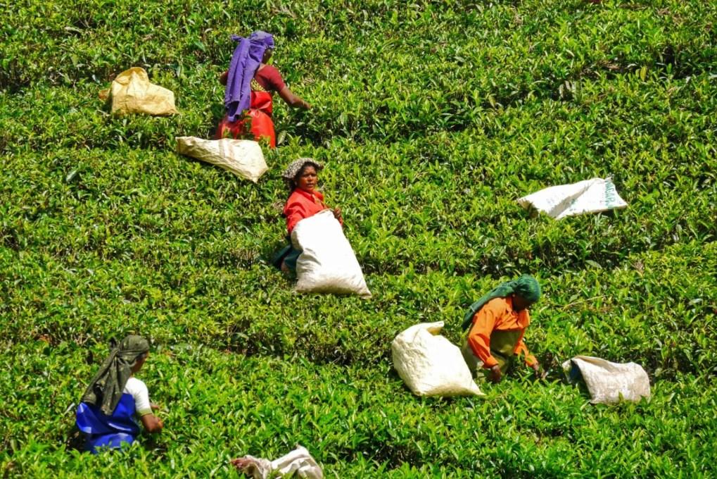 Indien Tee Plantage frauen