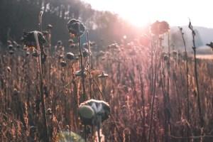 Sonnenblumenfeld Eifel