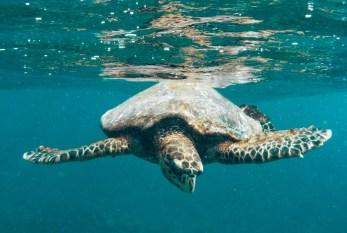 Schildkröte vor Coco Island