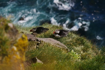 Westfjorde Island Látrabjarg Puffins