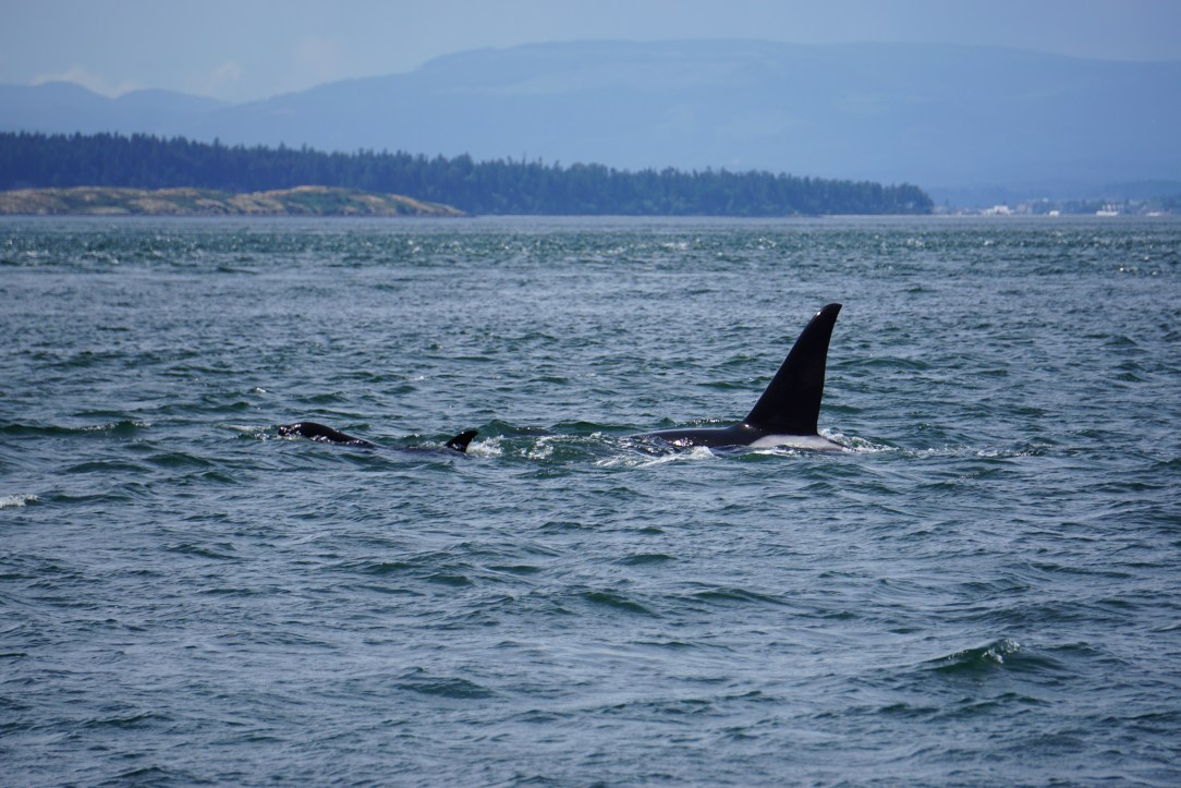 Wild Orca Pod in the San Juan Islands