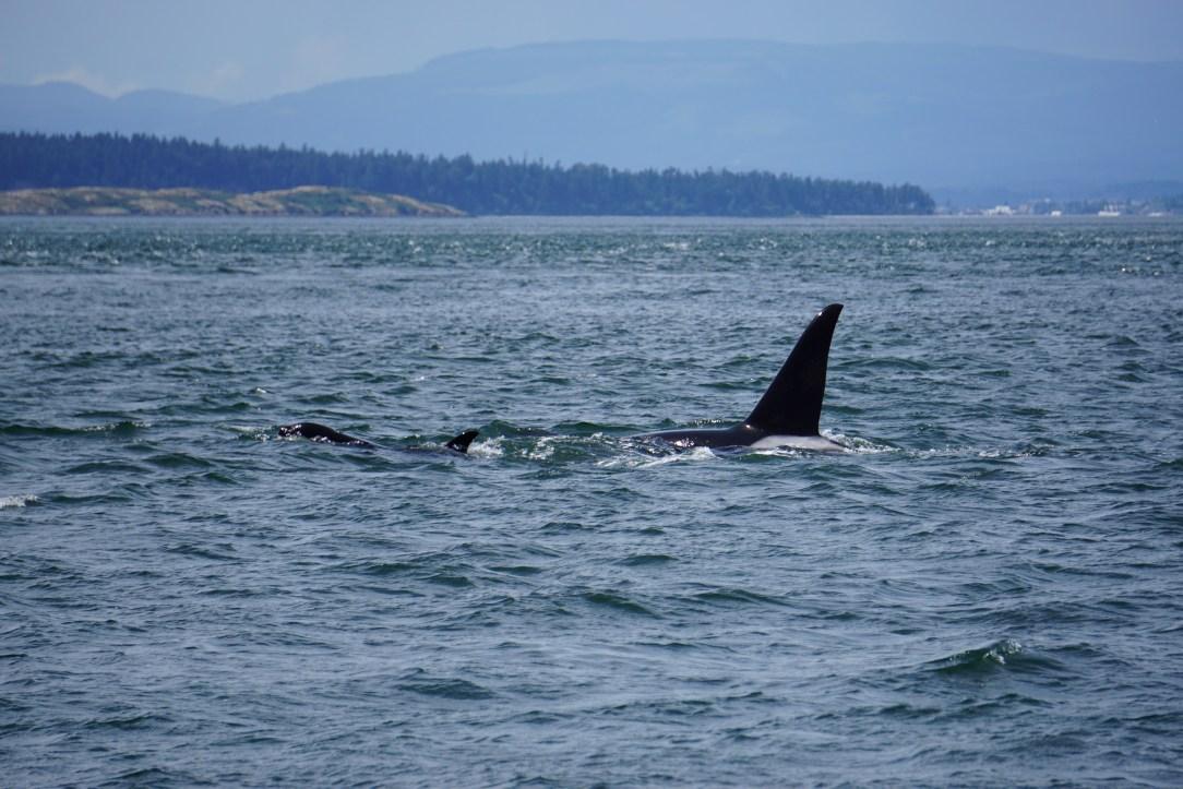 Wild Orca Pod in the San Juan Islands