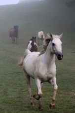 Gray the Horse